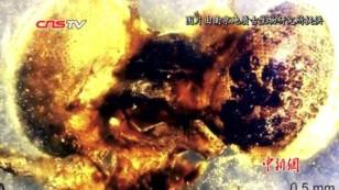 """琥珀化石""""再现""""一亿年前豆娘求偶行为"""