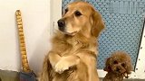 金毛米拉第一个受难日,泰迪竟要抢着吃肉,米拉听后眼神都不对了