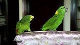 """宠物乐园-20110829-原生态版""""黄土高坡"""",这鹦鹉TM是歌唱家啊!"""