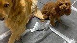 在亲情和友情之间,金毛米拉艰难的选择了亲情,难为它了