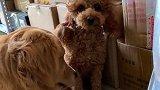 金毛米拉薅泰迪的头发,事后就装可爱给主人看,太逗了