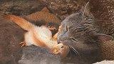 惊讶!辛菲罗波尔1只猫和4只松鼠生活在一起,背后故事让人感动