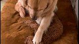 看金毛米拉是如何哄泰迪睡觉的,你觉得它的表现能打多少分呢