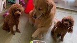 开饭了,金毛米拉给两只泰迪分碗,米拉真没把自己当狗!