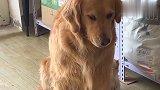 金毛米拉用眼瞪主人,一听生气会变丑它立马秒怂了,狗狗太搞笑!