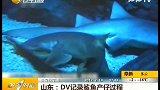 山东DV记录鲨鱼产崽过程