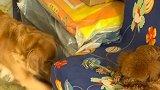 金毛米拉拿玩具跟泰迪换吃的,泰迪不同意,米拉的反应好搞笑